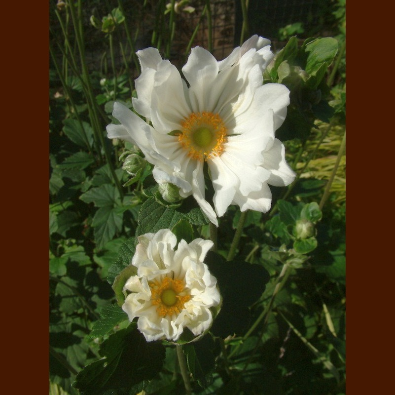 Anemone japonica 'Whirlwind' 1_800.jpg